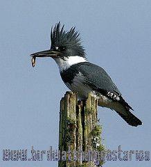[:en]Bird Belted Kingfisher[:es]Ave Martín Pescador Norteño[:]