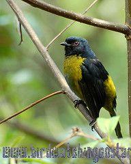 [:en]Bird Black-and-yellow Silky-Flycatcher[:es]Ave Capulinero Negro y Amarillo[:]