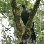 [:en]Bird Black Guan[:es]Ave Pava Negra[:]