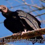 [:en]Bird Black Vulture[:es]Ave Zopilote Negro[:]