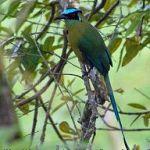 [:en]Bird Blue-crowned Motmot[:es]Ave Momoto Común, Pájaro Bobo[:]