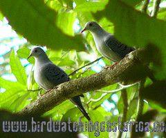 [:en]Bird Blue Ground-Dove[:es]Ave Tortolita Azulada[:]