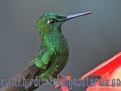 [:en]Bird Green-crowned Brilliant[:es]Ave Brillante Frentiverde[:]