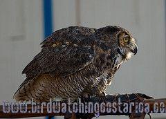[:en]Bird Great Horned  Owl[:es]Ave Buho Grande[:]