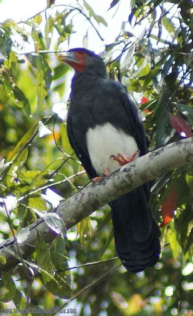 [:en]Bird Red-throated Caracara[:es]Ave Caracara Avispera[:]