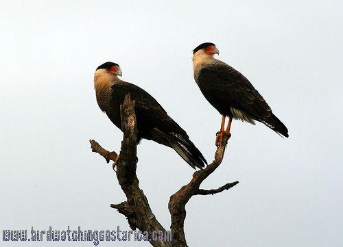 [:en]Bird Crested Caracara[:es]Ave Caracara Cargahuesos[:]