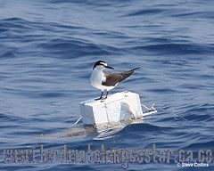 [:en]Bird Bridled Tern[:es]Ave Carrán Embridado[:]