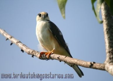 [:en]Bird American Kestrel[:es]Ave Cernícalo Americano[:]