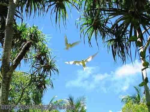 [:en]Bird White Tern[:es]Ave Charrán Blanco[:]