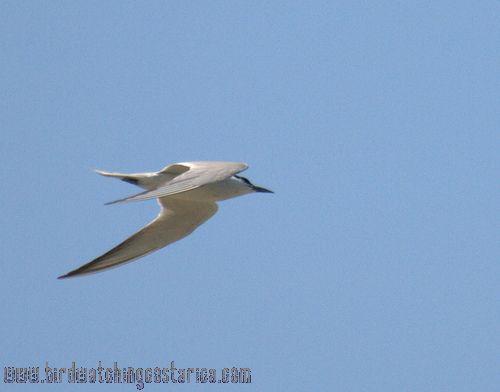 [:en]Bird Gull-billed Tern[:es]Ave Charrán Piquinegro[:]