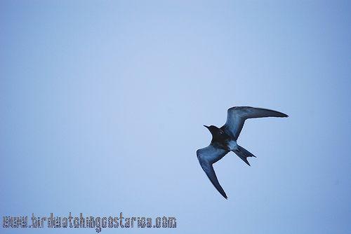 [:en]Bird Sooty Tern[:es]Ave Charrán Sombrío[:]