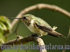 [:en]Bird Scintillant Hummingbird[:es]Ave Chispita Gorginaranja[:]