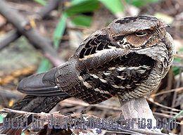 [:en]Bird Dusky Nightjar[:es]Ave Chotacabras Sombrío[:]