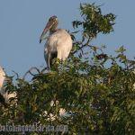 [:en]Bird Wood Stork[:es]Ave Cigueñón[:]