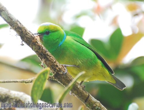 [:en]Bird Golden-browed Chlorophonia[:es]Ave Clorofonia Cegidorada[:]