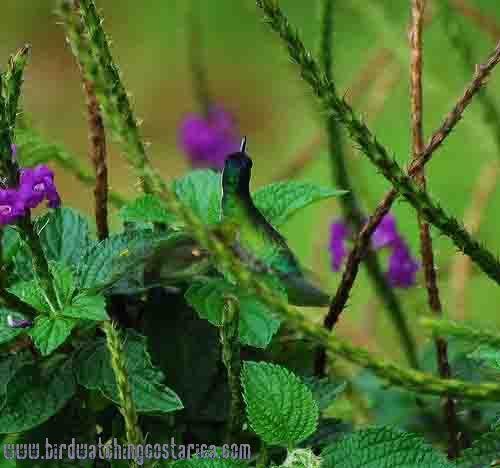[:en]Bird Violet-headed Hummingbird[:es]Ave Colibrí Cabeciazul[:]