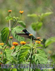 [:en]Bird Blue-throated Goldentail[:es]Ave Colibrí Colidorado[:]