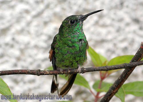 [:en]Bird Stripe-tailed Hummingbird[:es]Ave Colibrí Colirrayado[:]