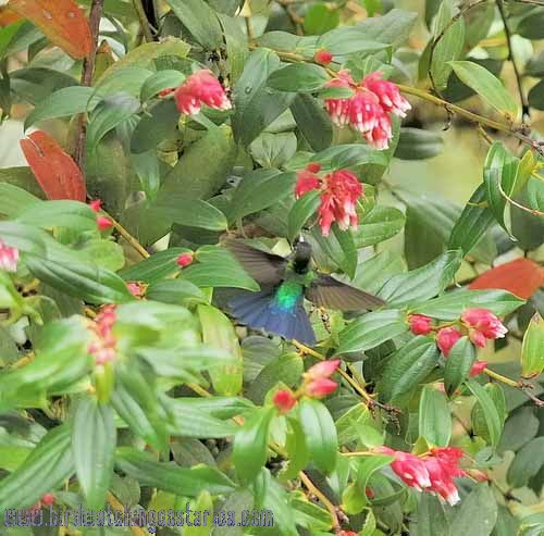 [:en]Bird Fiery-throated Hummingbird[:es]Ave Colibrí Garganta de Fuego[:]