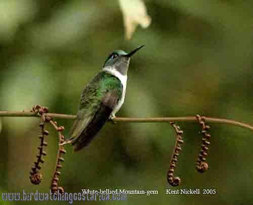 [:en]Bird White-bellied Mountain-gem[:es]Ave Colibrí Montañés Vientriblanco[:]