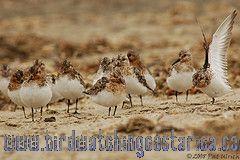 [:en]Bird White-rumped Sandpiper[:es]Ave Correlimos Lomiblanco[:]