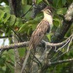 [:en]Bird Pheasant Cuckoo[:es]Ave Cuclillo Faisán[:]