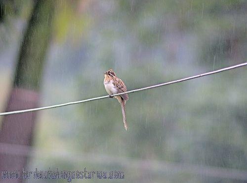 [:en]Bird Striped Cuckoo[:es]Ave Cuclillo Listado[:]