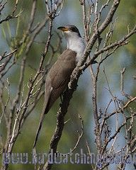 [:en]Bird Yellow-billed Cuckoo[:es]Ave Cuclillo Piquigualdo[:]
