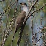 [:en]Bird Yellow-billed Cuckoo[:es]Ave Cuclillo Piquigualdo[:]