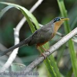 [:en]Bird Lesser Ground-Cuckoo[:es]Ave Cuclillo Sabanero[:]