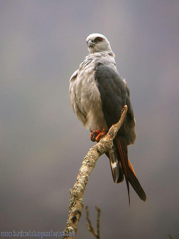 [:en]Bird Plumbeous Kite[:es]Ave Elanio Plomizo[:]