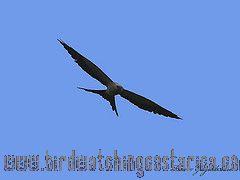 [:en]Bird Swallow-tailed Kite[:es]Ave Elanio Tijereta[:]