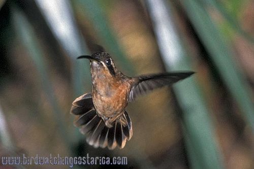 [:en]Bird Striped-throated Hermit[:es]Ave Ermitaño Enano[:]