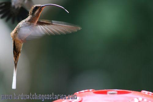 [:en]Bird Long-billed Hermit[:es]Ave Ermitaño  Pico Largo[:]