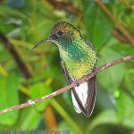 [:en]Bird Coppery-headed Emerald[:es]Ave Esmeralda de Coronilla Cobriza[:]