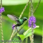 [:en]Bird Garden Emerald[:es]Ave Esmeralda de Panamá[:]
