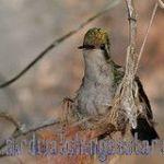 [:en]Bird Canivet´s Emerald[:es]Ave Esmeralda Rabiorcada[:]