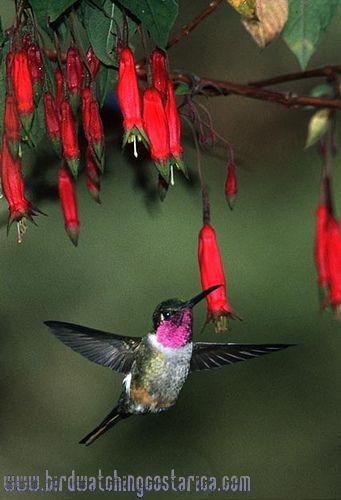 [:en]Bird Magenta-throated Woodstar[:es]Ave Estrellita Gorgimorada[:]