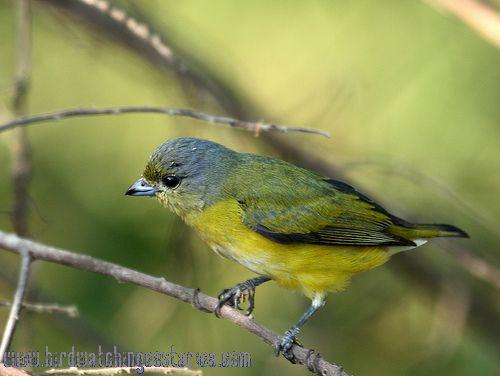 [:en]Bird Scrub Euphonia[:es]Ave Eufonia Gargantinegra[:]