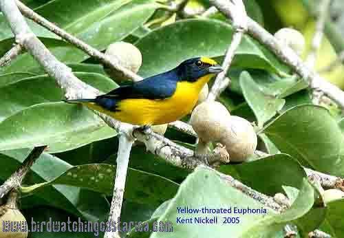 [:en]Bird Yellow-throated Euphonia[:es]Ave Eufonia Gorgiamarilla[:]