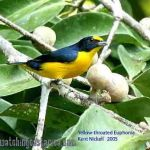 [:en]Bird Yellow-throated Euphonia[:es]Ave Eufonia Gorgiamarilla[:]