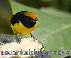 [:en]Bird Tawny-capped Euphonia[:es]Ave Eufonia Gorricanela[:]