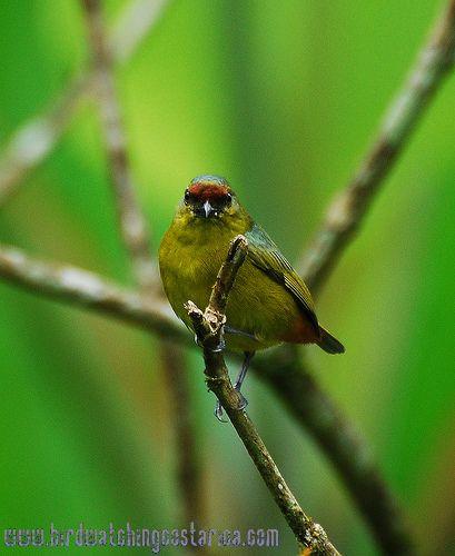 [:en]Bird Olive-backed Euphonia[:es]Ave Eufonia Olivácea[:]