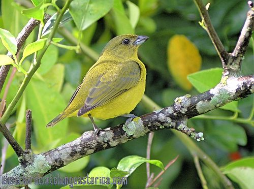 [:en]Bird Thick-billed Euphonia[:es]Ave Eufonia Piquigruesa[:]