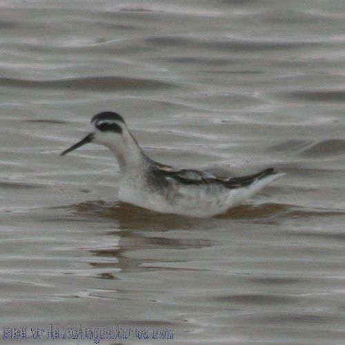 [:en]Bird Red-necked Phalarope[:es]Ave Falaropo Picofino[:]