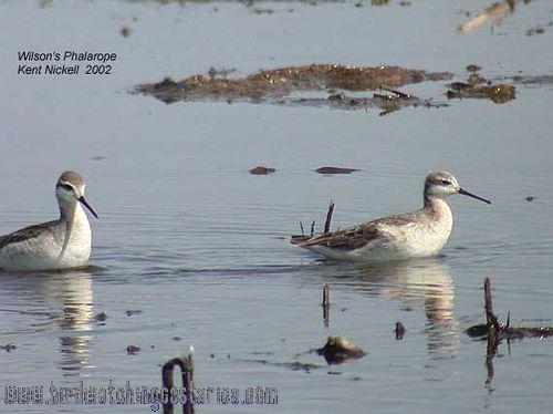 [:en]Bird Wilson´s Phalarope[:es]Ave Falaropo Tricolor o de Wilson[:]