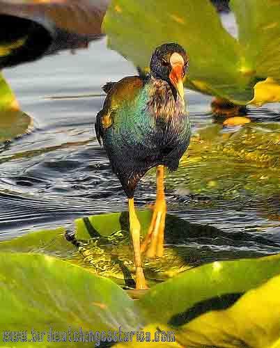 [:en]Bird Purple Gallinule[:es]Ave Gallareta Morada[:]
