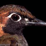 [:en]Bird Black-faced Antthrush[:es]Ave Gallito Hormiguero Carinegro[:]