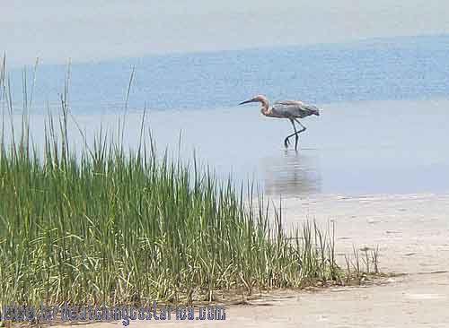 [:en]Bird Reddish Egret[:es]Ave Garceta Rojiza[:]
