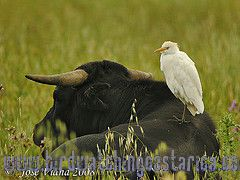[:en]Bird Cattle Egret[:es]Ave Garcilla Bueyera[:]